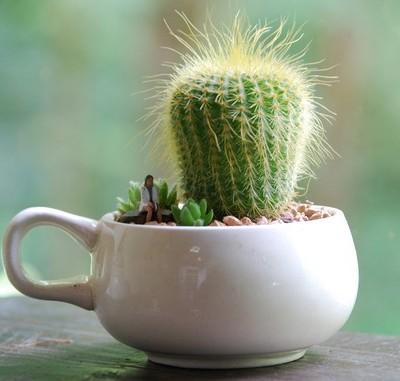 teacup_cactus